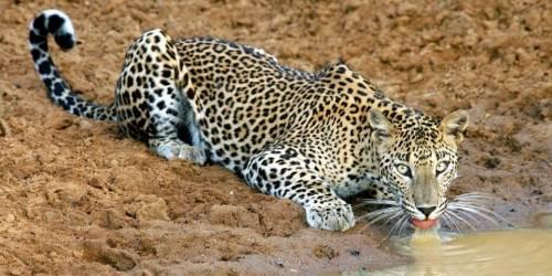 Yala National Park leopard default.jpg